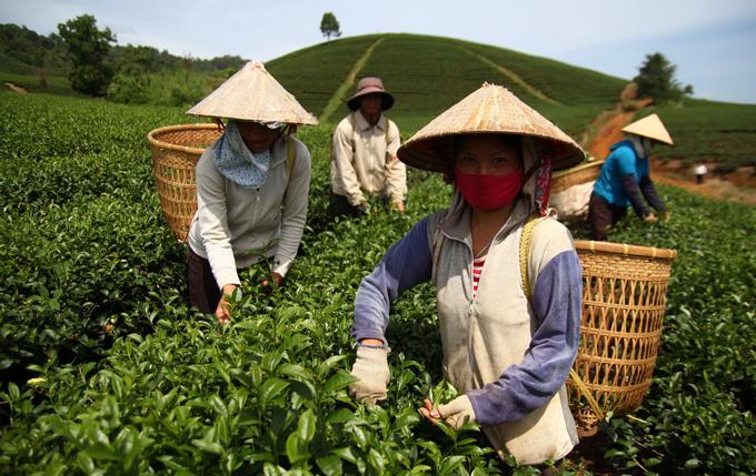 Thu nhập của người nông dân trồng trà chẳng là bao so với nguồn lợi khủng của các công ty kinh doanh trà trốn thuế. Cần trả lại công bằng cho họ - Ảnh: Mai Vinh
