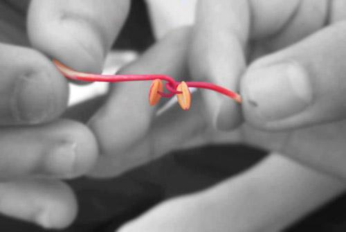 Kéo co bằng nhị hoa phượng (có nơi dùng hoa dâm bụt)