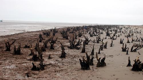 Trên triền cát bãi Cồn Lu là một rừng gỗ lũa tuyệt đẹp