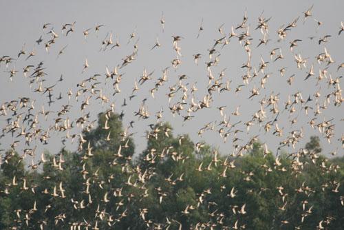 Hàng ngàn cánh chim sải cánh bay giữa mênh mông sông nước là cảnh tượng quen thuộc tại Vườn Quốc Gia Tràm Chim trong nhiều năm qua