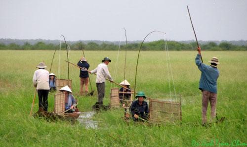 Thu hoạch lúa trời tại Vườn Quốc Gia Tràm Chim đem lại thêm thu nhập cho người dân bên cạnh việc làm thuê
