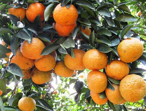Những trái cam chín mọng, căng tròn, hấp dẫn du khách.
