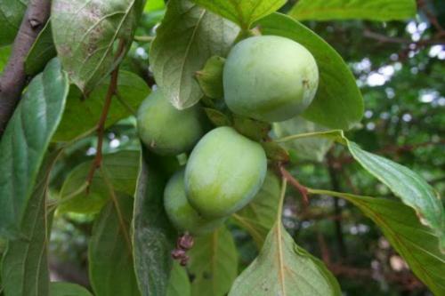 Giống hồng không hạt ở huyện Quản Bạ khi còn xanh.